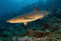 Maui has great diving! Shot this White Tip Shark in my ba... by Stephen Juarez 